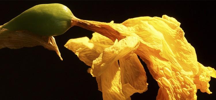 Daffe  daffodillar